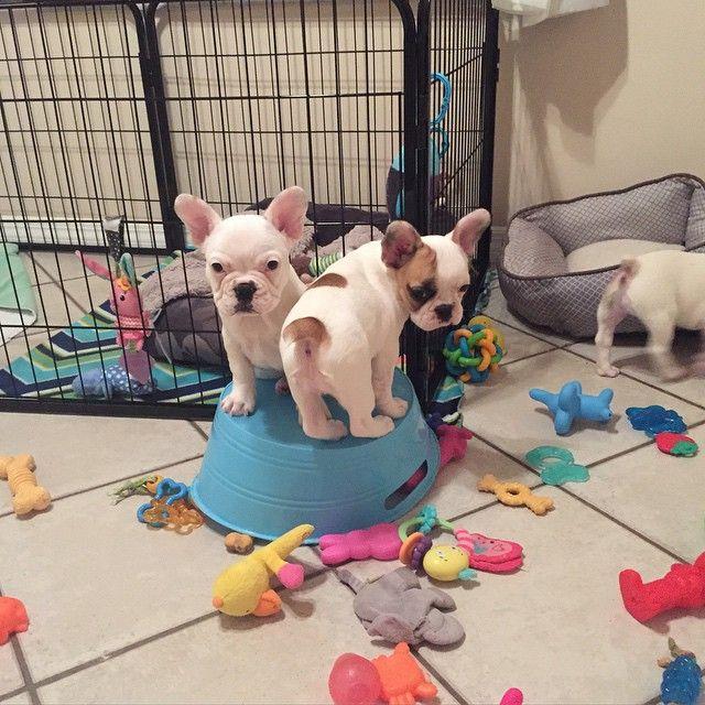 How To Potty Train My French Bulldog French Bulldog Puppies