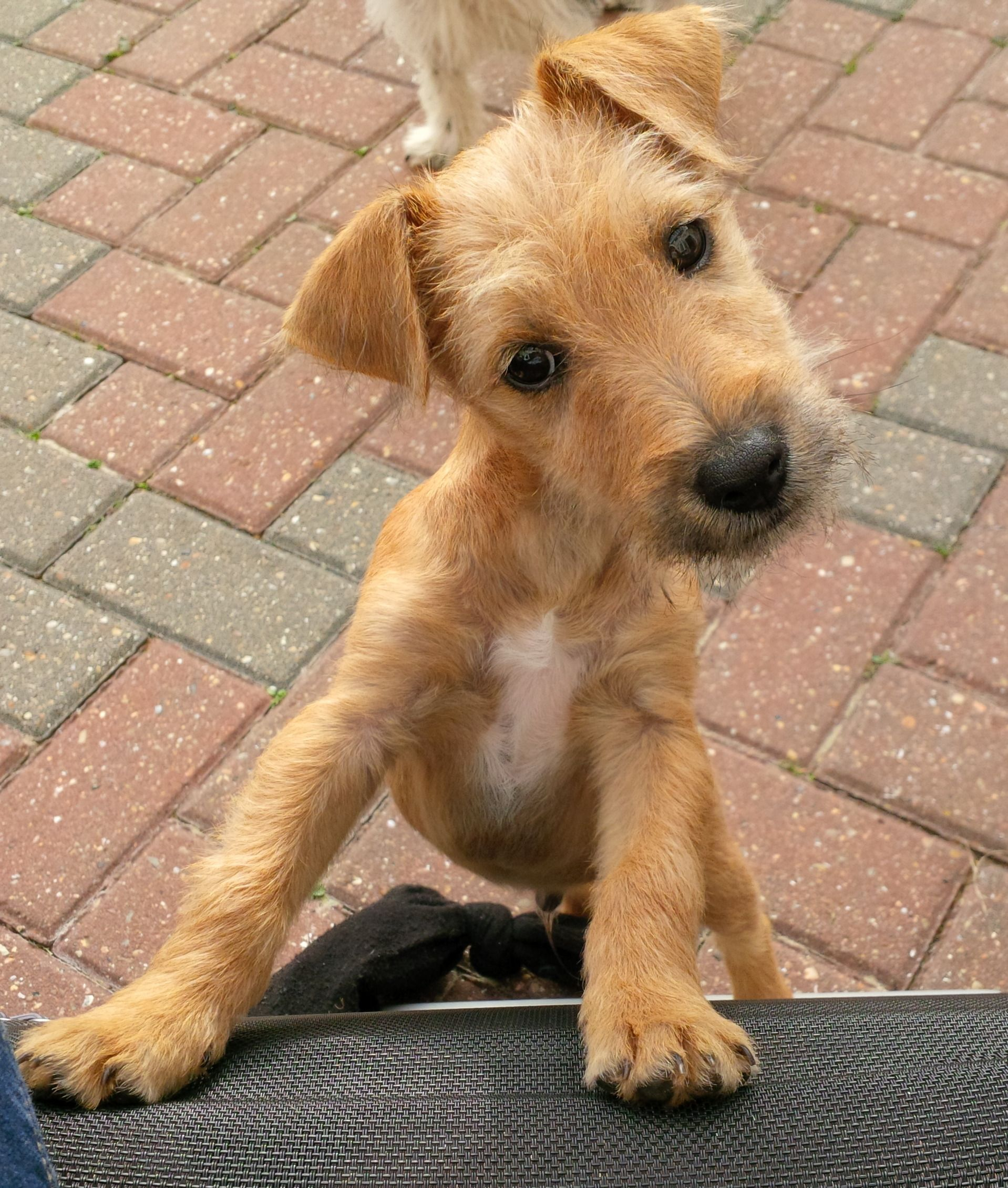 Puppy Fox Terrier Border Terrier Cross Wilfie Fox Terrier