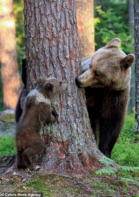 Gotcha! Mother bear plants a kiss on her adorable cub #bears