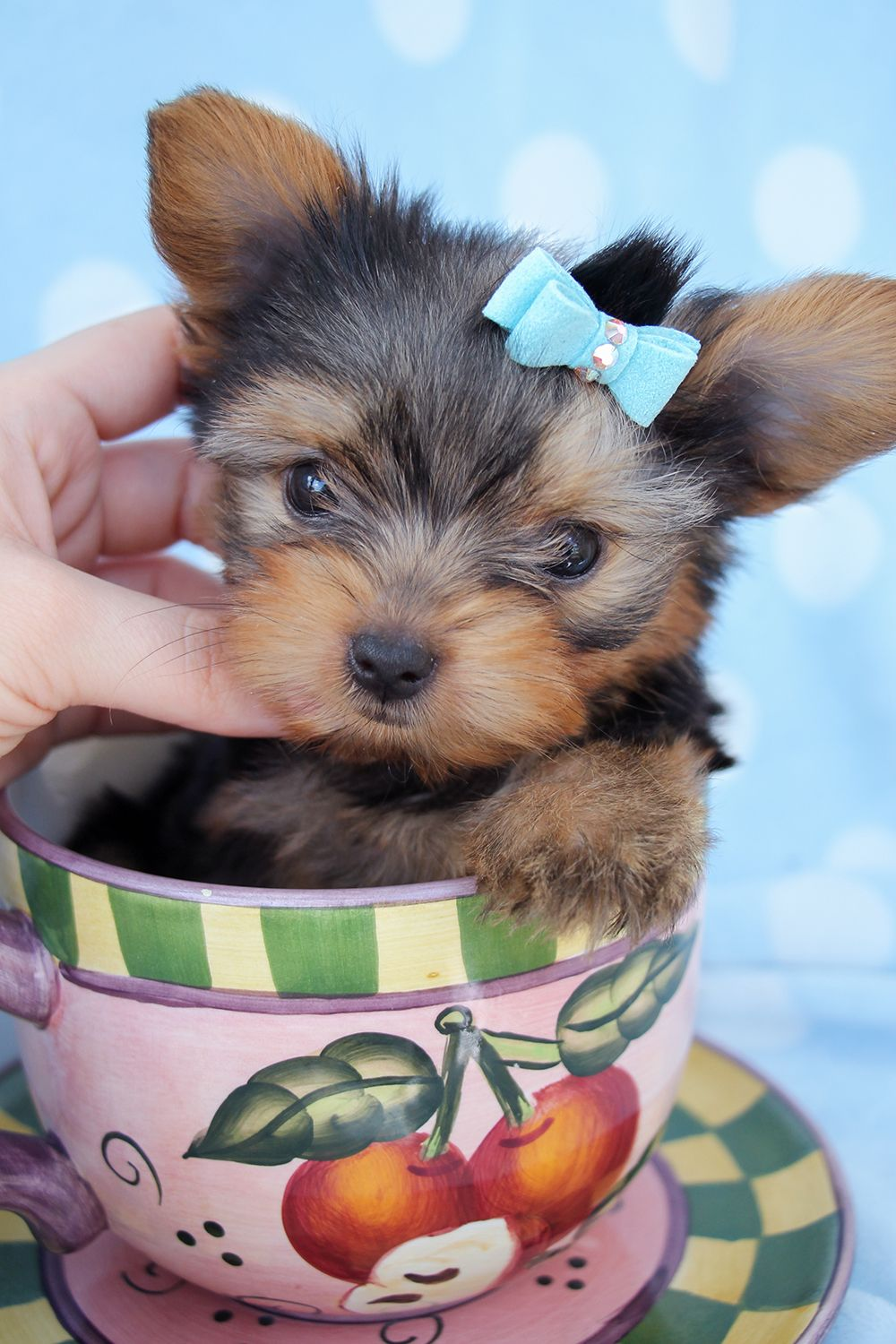 Yorkie Puppies For Sale in South Florida Teacup puppies