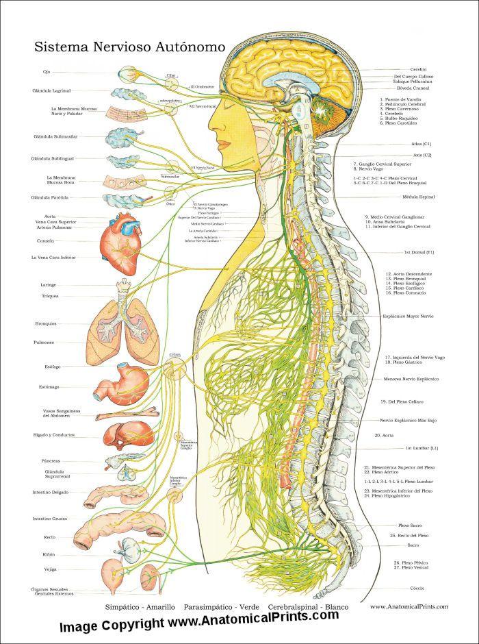 Autonomic Nervous System Poster (Sistema Nervioso Autonomo ...