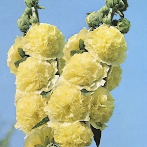 Hollyhock golden yellow fully double large yellow flowers hollyhock golden yellow fully double large yellow flowers biennial and perennial flower seeds mightylinksfo