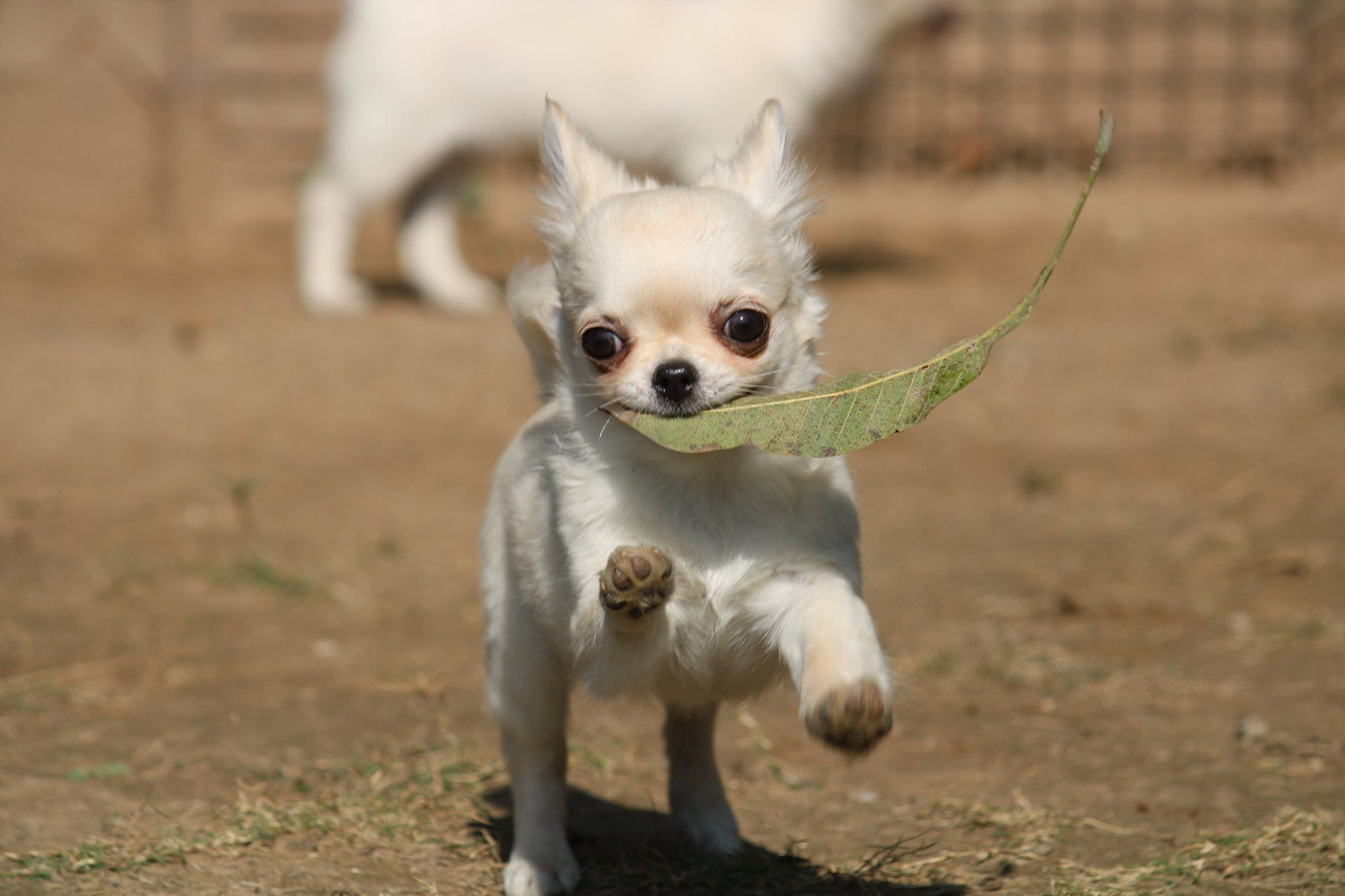 Pin On Best Chihuahuas In India