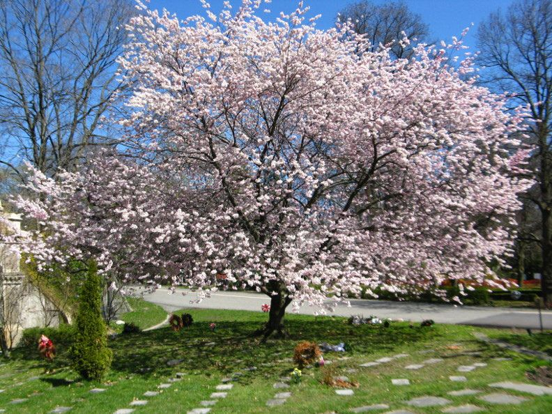 Accolade Japanese Flowering Cherry Blooms At Mount Pleasant Cemetery By Garden Muses Not Another Toronto Gardening Blog Toronto Gardens Cherry Blooms Japanese Cherry Tree