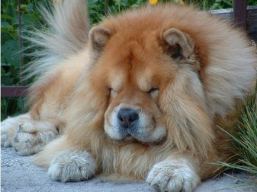 The Chow Chow Is A Firm Powerful Squarely Built Dog Of Medium