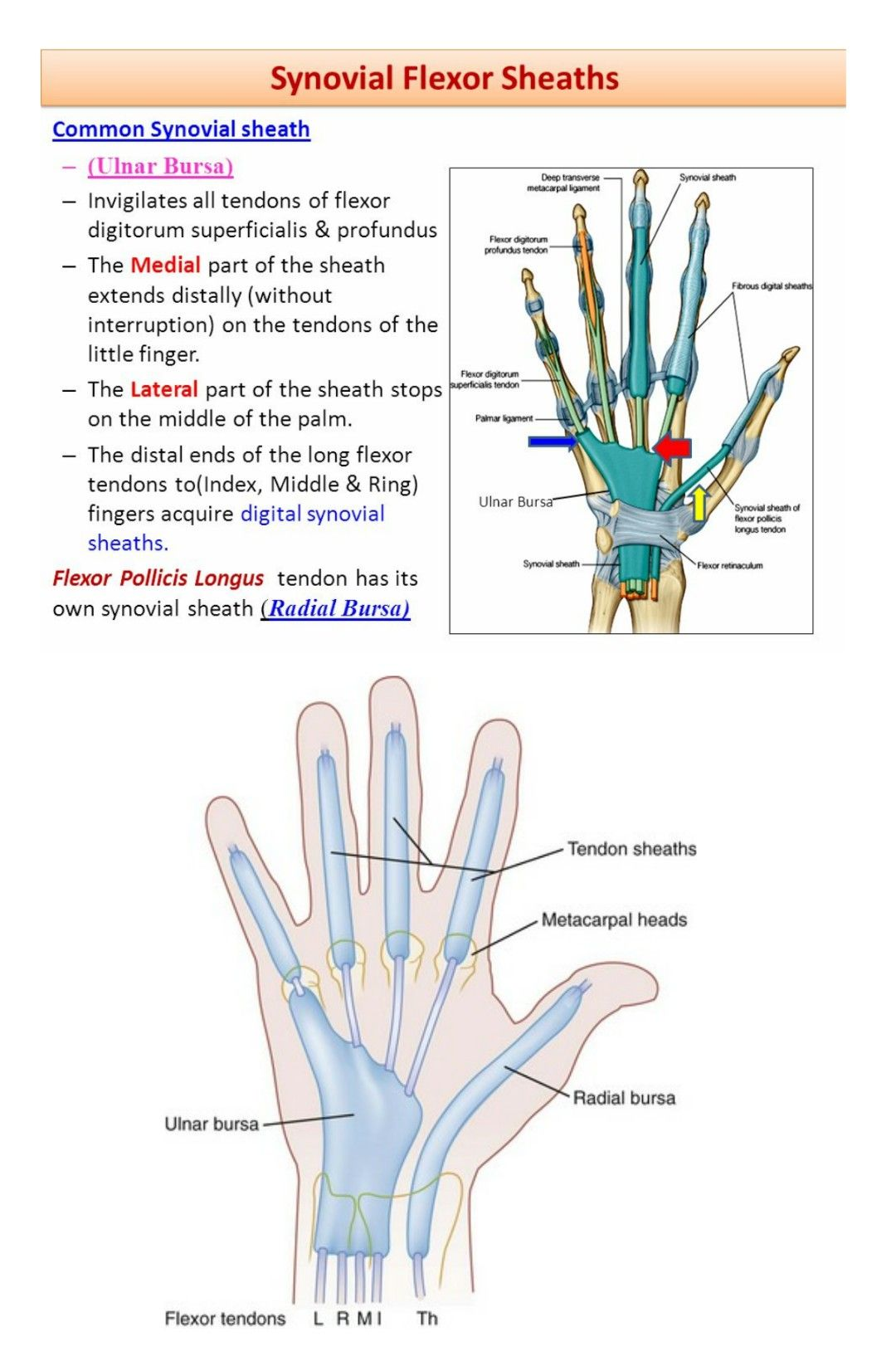 Synovial Flexor sheaths ... | Muscles | Pinterest | Muscles