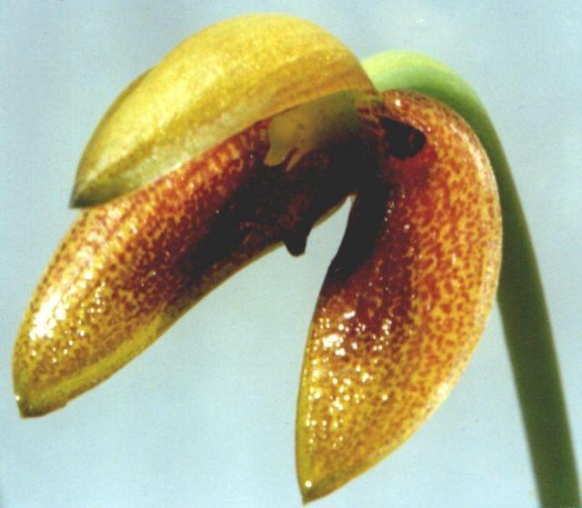 Bulbophyllum Brevilabrum