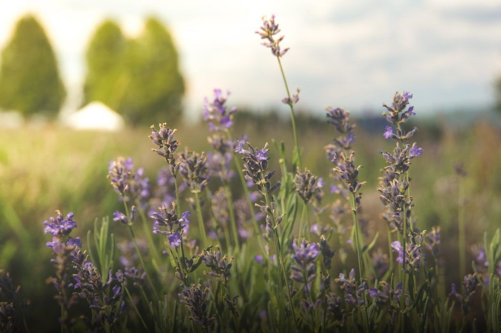 8 plants thatll actually keep mosquitos away lavender