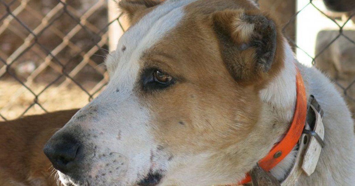 """Mutilan perros por una """"tradición rural"""" NO permitamos más esta locura! FIRMA Y COMPARTE ESTA..."""
