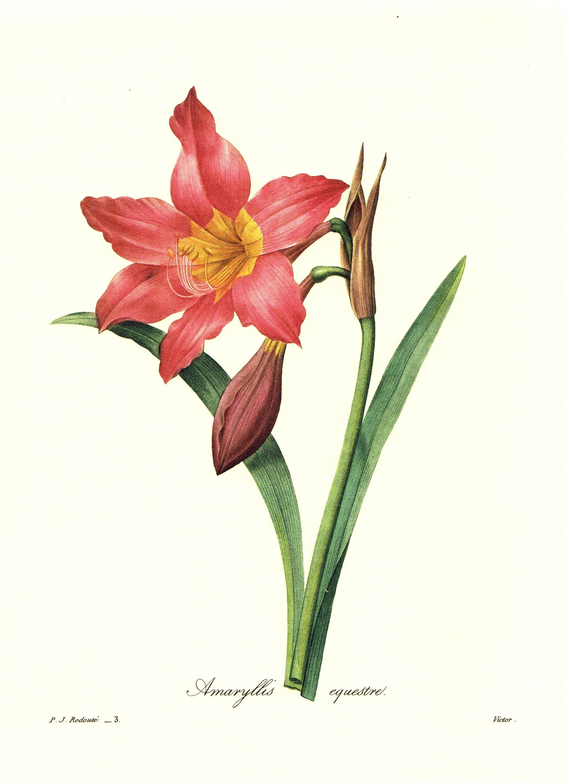 Vintage Red Amaryllis Flower Illustration Redoute Red Botanical Print Christmas Gift For Gardener Birthday Wedding Anniversary Pjr 3703 Flower Drawing Flower Illustration Flower Art