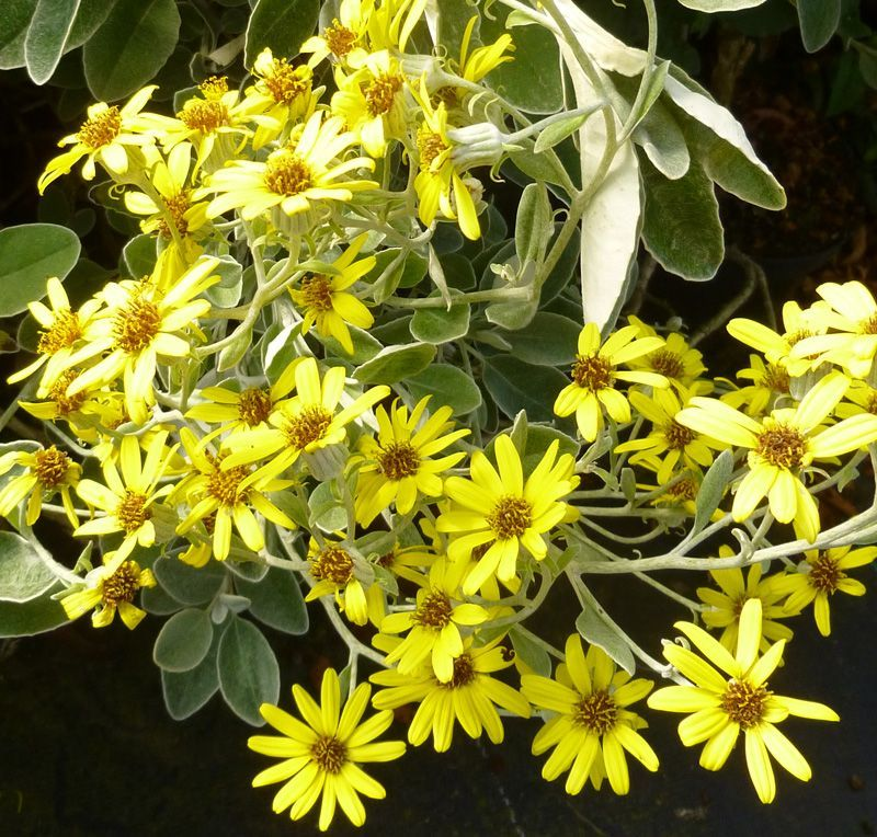 Brachyglottis Sunshine Senecio Online From Jacksons Nurseries