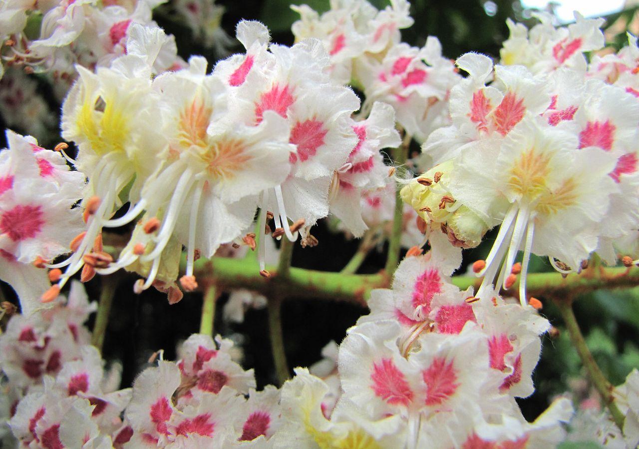 Horse Chestnut Blossom Aesculus Hippocastanum Garden Planted