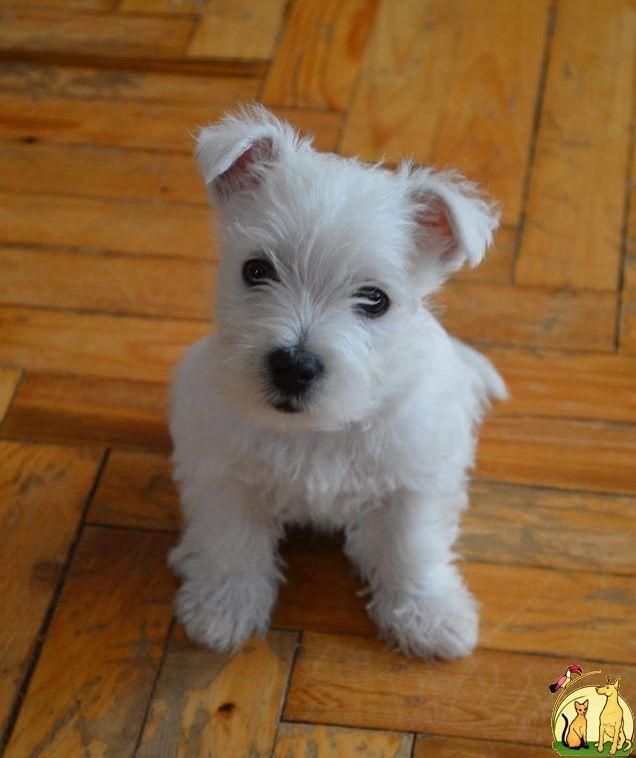 15480_22.jpg (636×758) Cute animals, Cute puppies, Westies