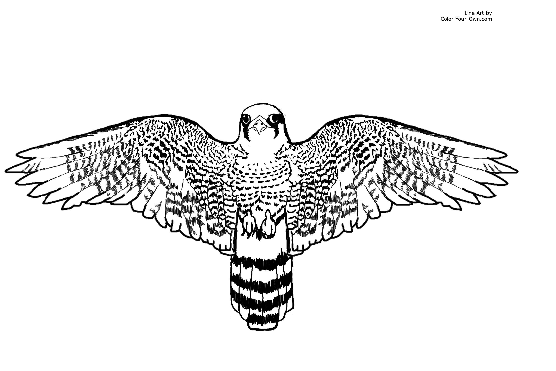 New Coloring Page Peregrine Falcon