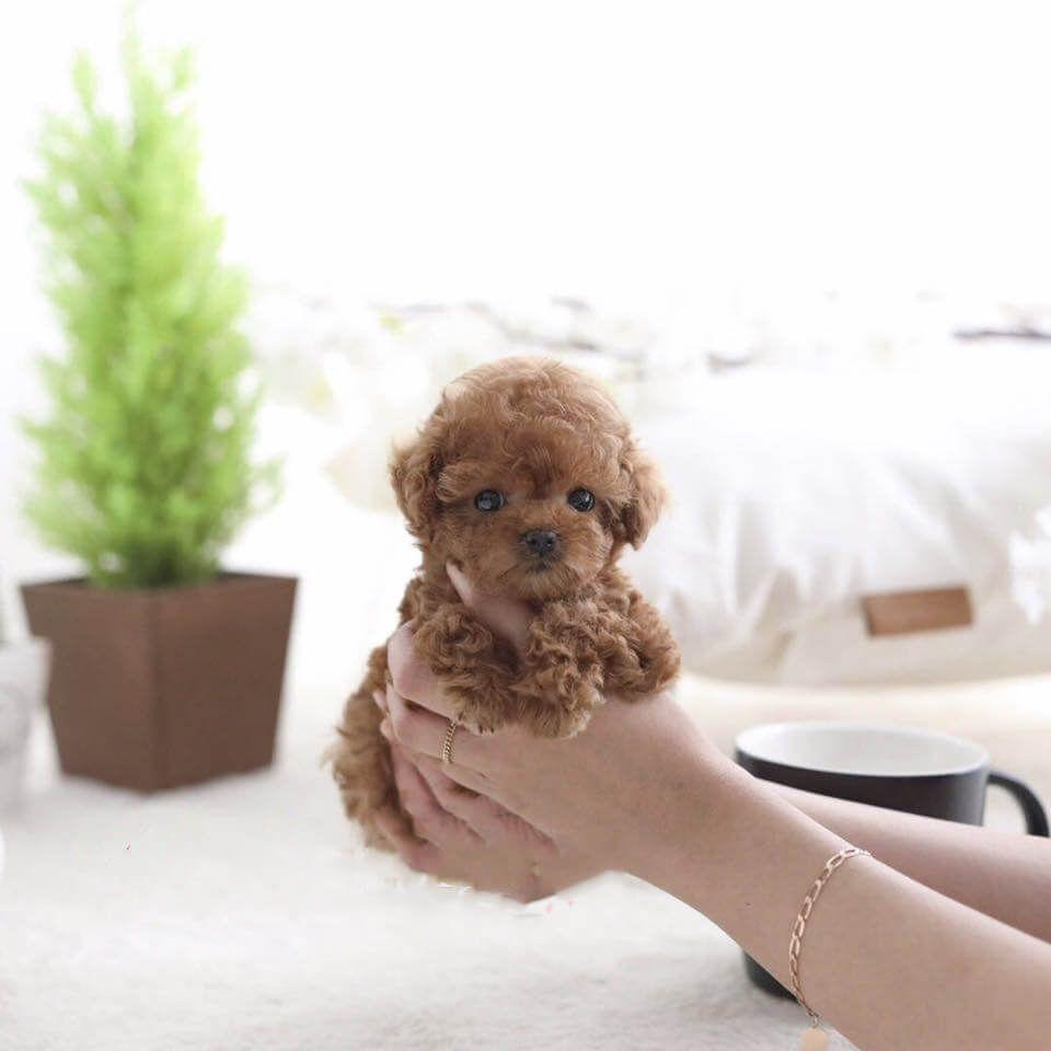 Piper Red Teacup Poodle Posh Pocket Pups Tea Cup Poodle Poodle Puppy Poodle Puppies For Sale