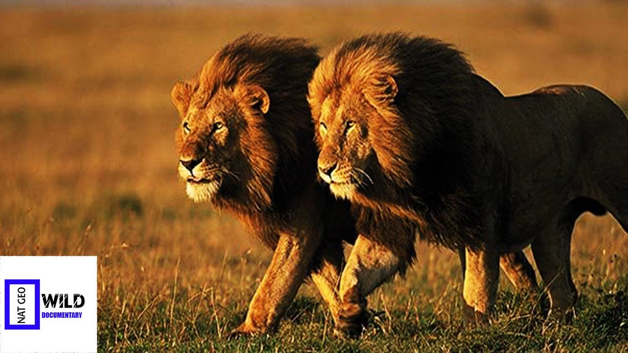 [Nat Geo Wild Documentary] African Lion of the Night Discovery Channel A..