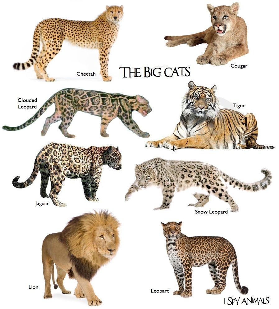 201103 Big Cats Art Types Of Wild Cats Wild Cats