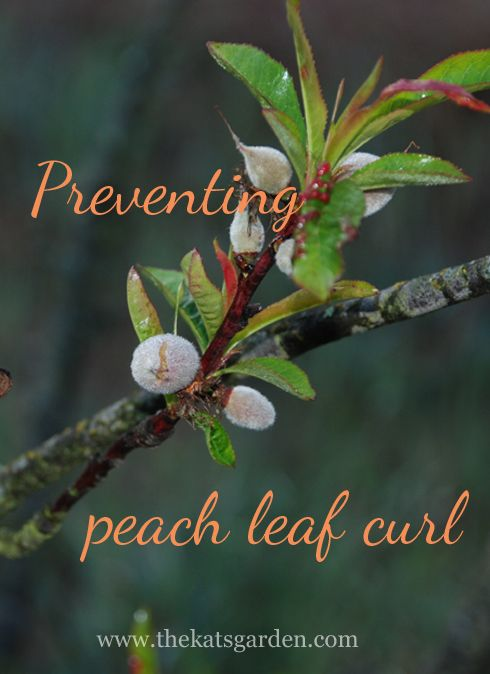 Preventing Peach Leaf Curl Must Be Done While Trees Are Still
