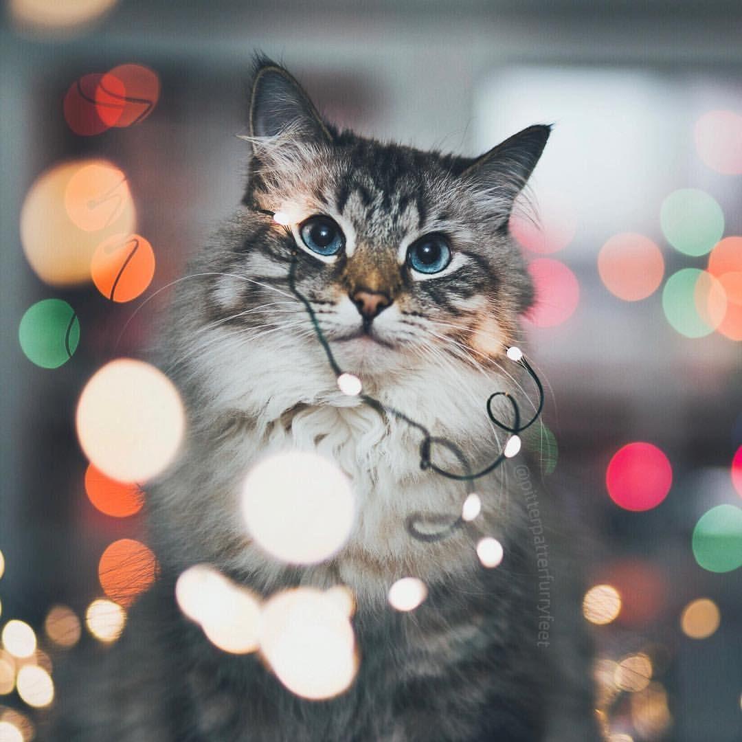 Delightfulbliss Delightfulbliss In 2020 Susse Hunde Und Katzen Weihnachtskatzen Katzenbabys