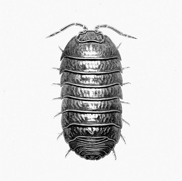 Vistoso Anatomía Del Camarón Mantis Elaboración - Imágenes de ...