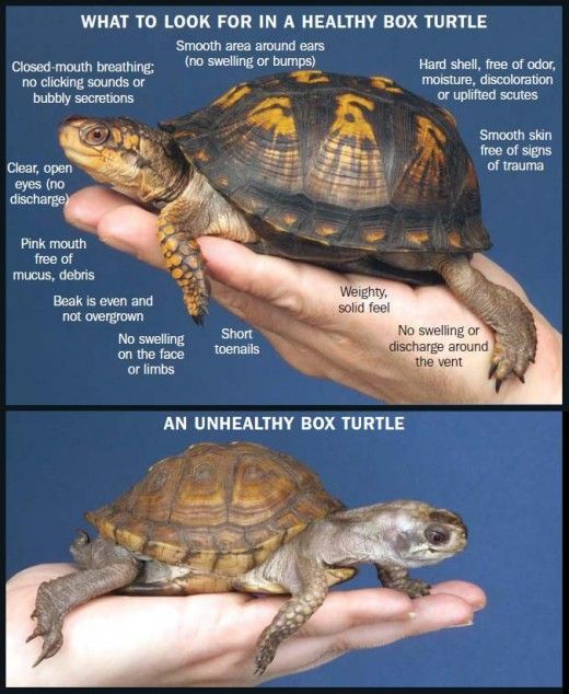 What you should know about eastern box turtles animal ideas pinterest turtle and tortoises also rh