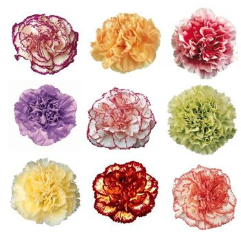 Mixed Color Novelty Carnation Flowers Fiftyflowers Com Carnation Flower Carnations Carnation Flower Meaning