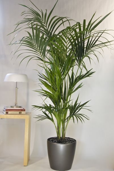 Tall Potted Plants kentia palm from houston interior plants | landing pot—落地盆栽