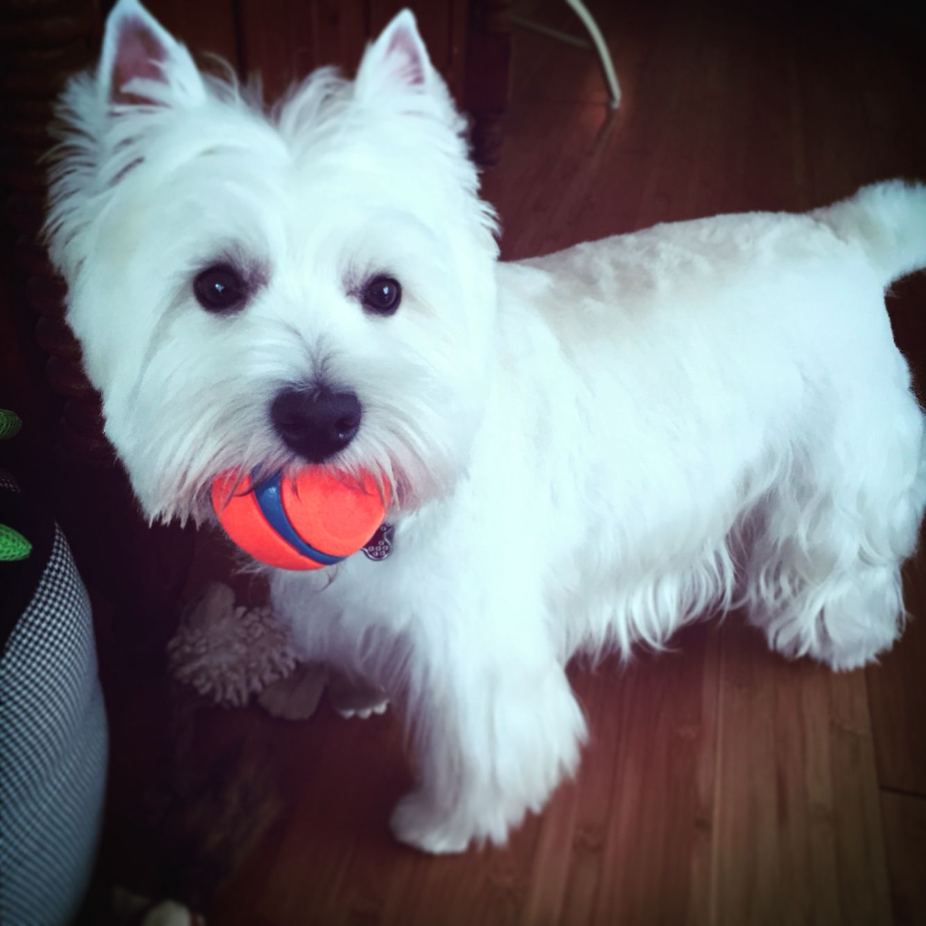 West Highland Terrier Puppies And Kitties Cute Animal Photos Cute Dogs