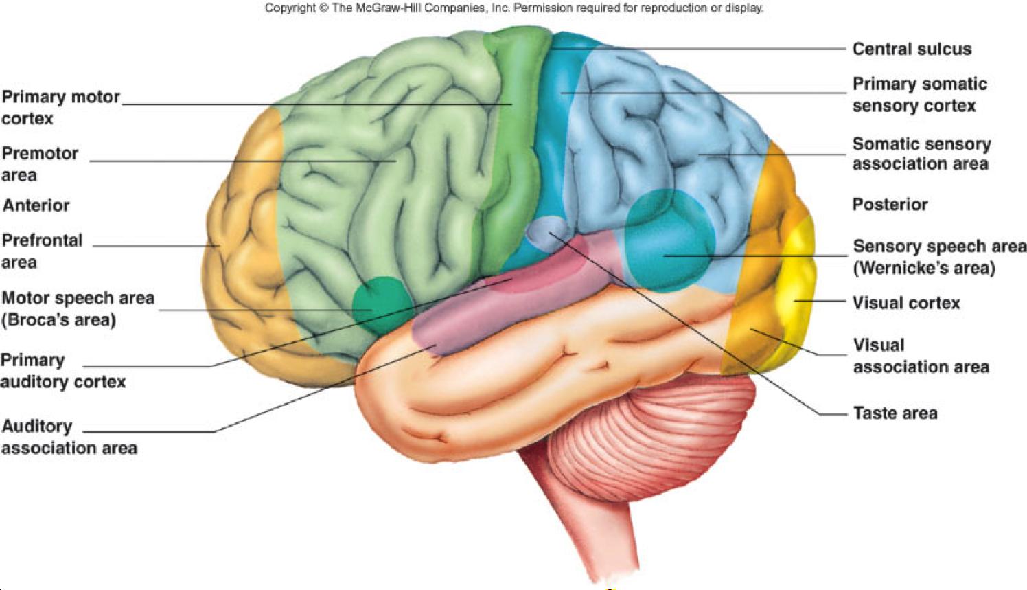 primary motor cortex - Google Search   Brain cortex, Motor ...