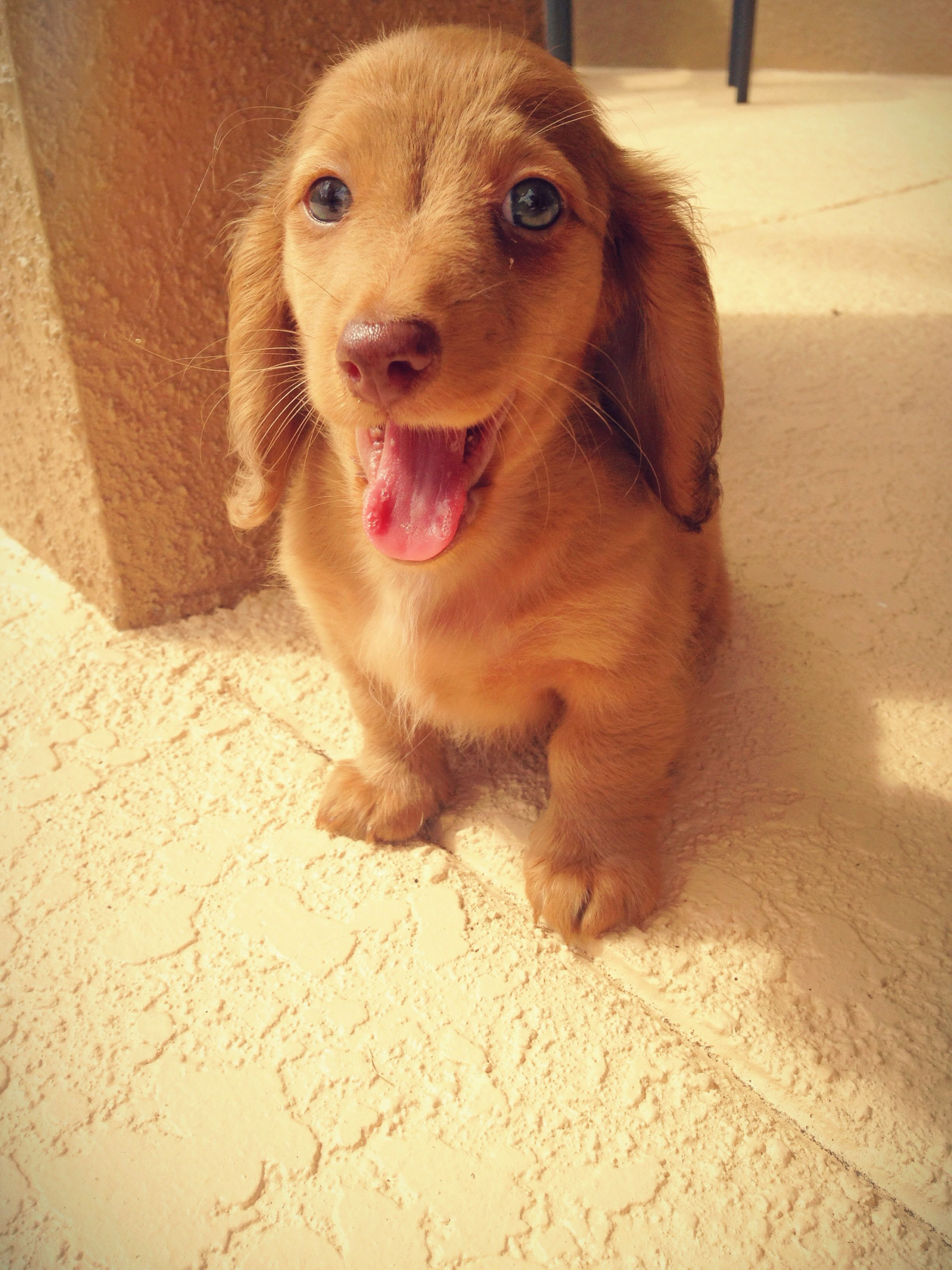 Cutest little thing ever long hair miniature dachshund