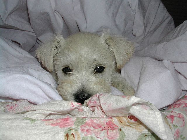 Baby Girl Schnauzer With Images Puppy Images Schnauzer Dogs