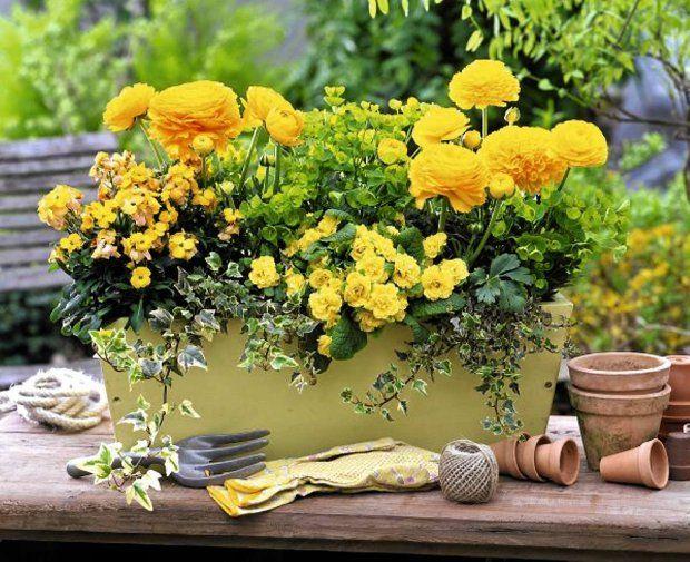 Wesolo I Wiosennie Okazale Jaskry Azjatyckie Ranunculus Asiaticus Pierwiosnki O Pelnych Kwiatach Oraz Zielony Wi Big Garden Container Gardening Garden Pots