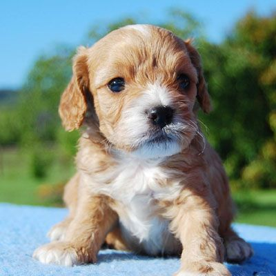 Red And White Cavoodle Puppy From Chevromist Kennels Www