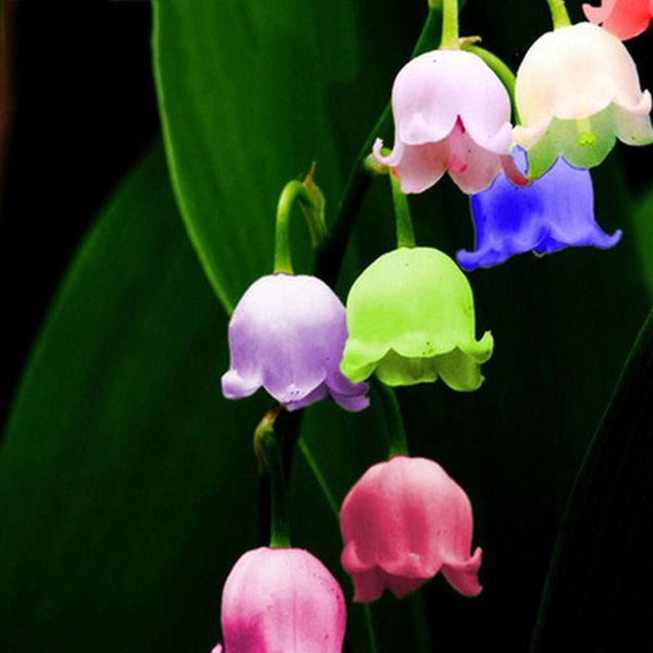 50pcs Colorful Campanula Flower Seeds Beautify Garden Windbell Orchid Seeds Gardening From Home And Garden On Banggood Com Orchid Seeds Flower Seeds Campanula Flowers
