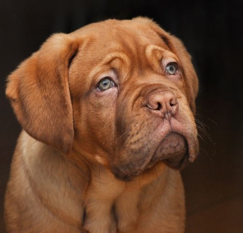 A thoughtfull look of Dogue de Bordeaux