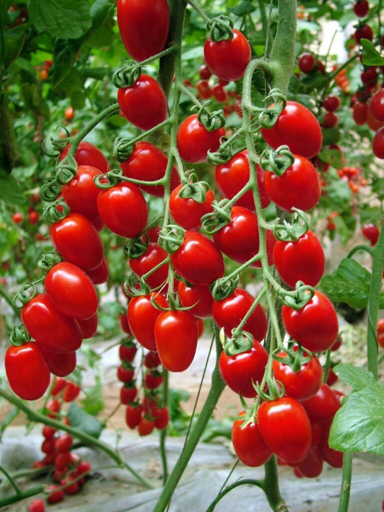200Pcs Cherry Tomato Seeds Organic For Garden Home Vegetable Seed
