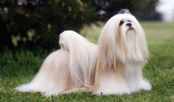 10 Popular Small Long Haired Dog Breeds Tail And Fur Lhasa Apso Dog Breeds Lhasa