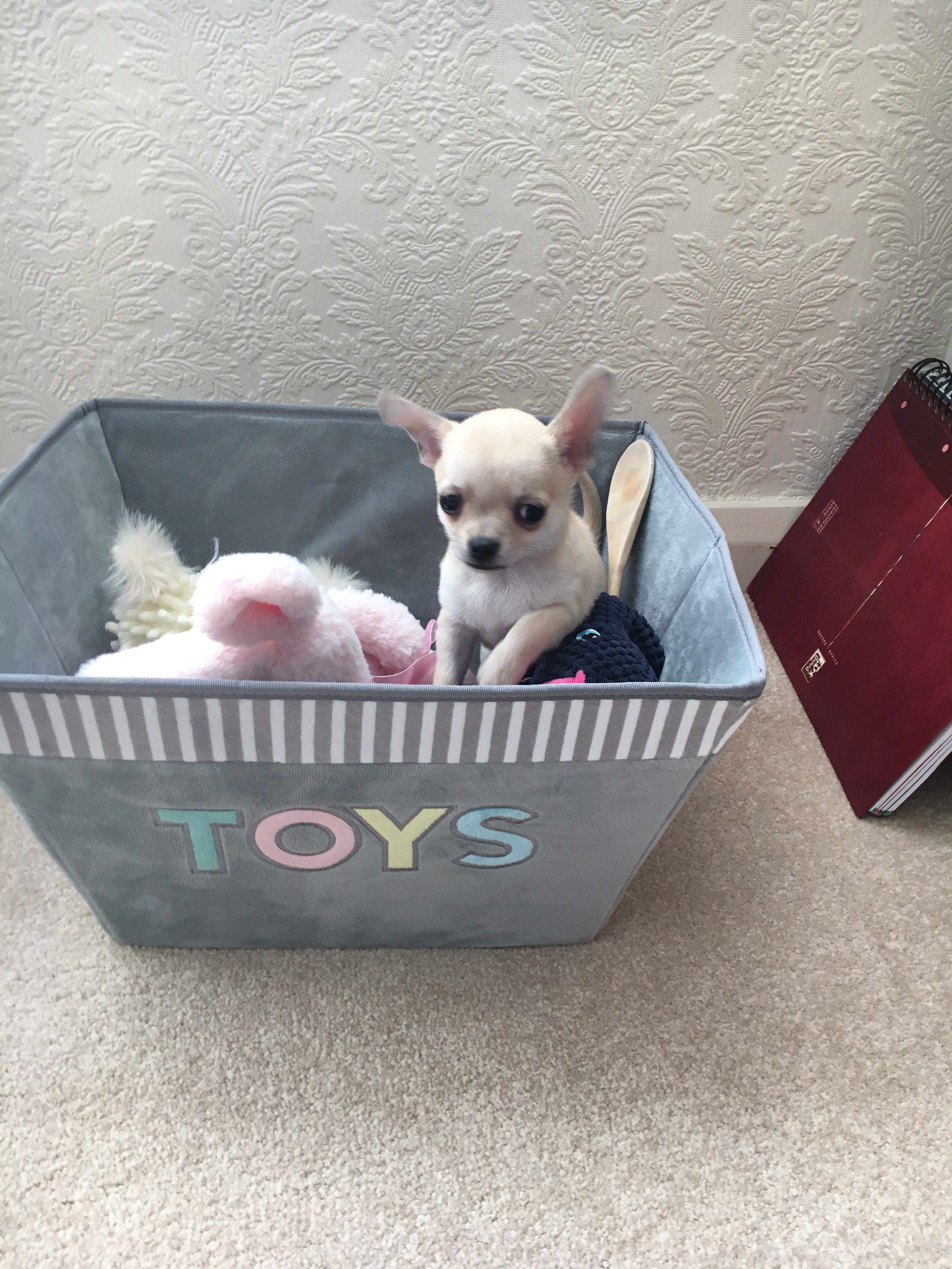 Cute Dog Chihuahua Funny Chihuahua Puppies Cute Chihuahua