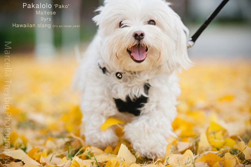 Maltese Puppy Puppy Love Maltese Dogs Cute Dogs Puppies