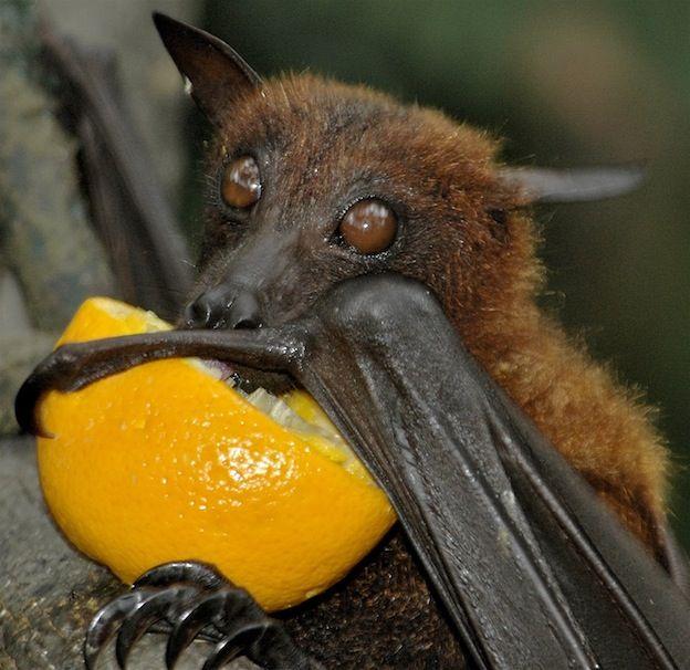 rainforest fruit bat eating fruit - Google Search | Bats ...