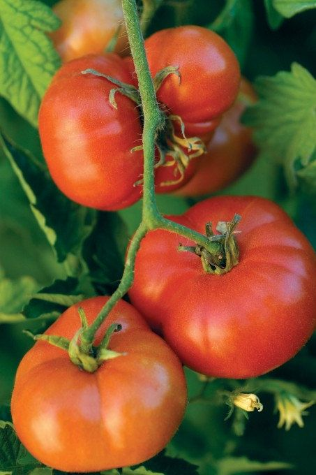 Heirloom Tomato Seeds Early Red Chief From 1884 By 400 x 300