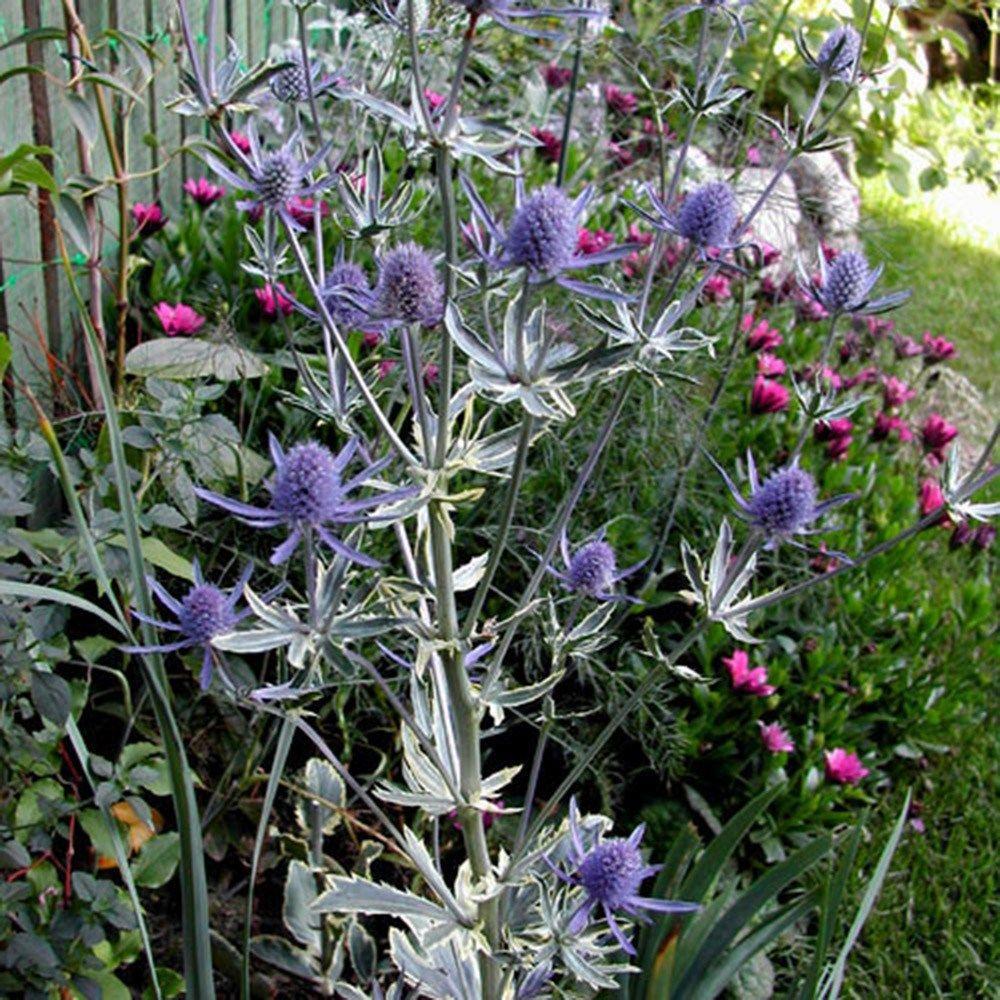 Eryngium Planum Jade Frost Pbr Pinterest Sea Holly Flowers