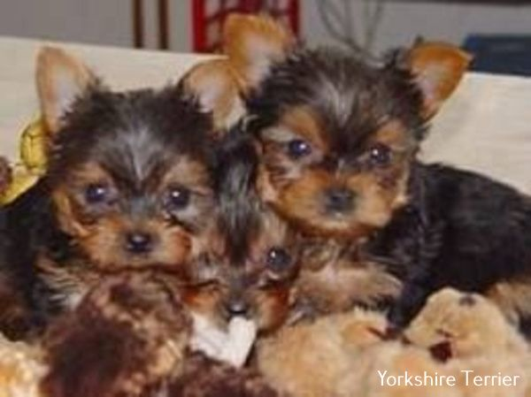 Photo of Yorkshire Terrier Ropa