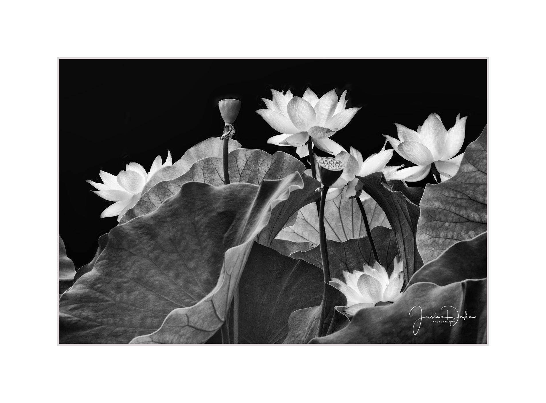 Lotus Flower Photography Lotus Flower Prints Nature Photography