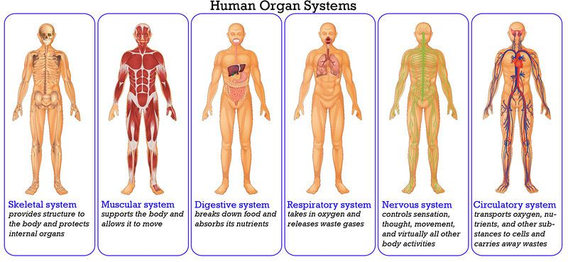 hudson isd: hudson middle school - body systems, Human Body