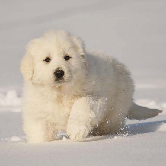Fun Facts About Big Dog Breeds Big Dog Breeds Great Pyrenees