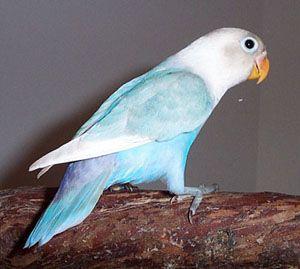 Masked Cobalt Dilute Pied Lovebird Pretty Pet Birds Parrot Pet Cute Birds