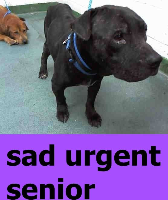 KILLED AFTER 1 DAY --- BARKLEY (A1707980) I am a male black Terrier.  The shelter staff think I am about 7 years old.  I was turned in by my owner and I may be available for adoption on 06/26/2015. — : Miami Dade County Animal Services. https://www.facebook.com/urgentdogsofmiami/photos/pb.191859757515102.-2207520000.1435431961./1001924023175334/?type=3&theater