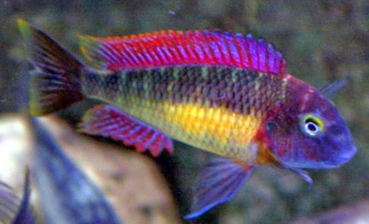 how to breed red rainbow fish
