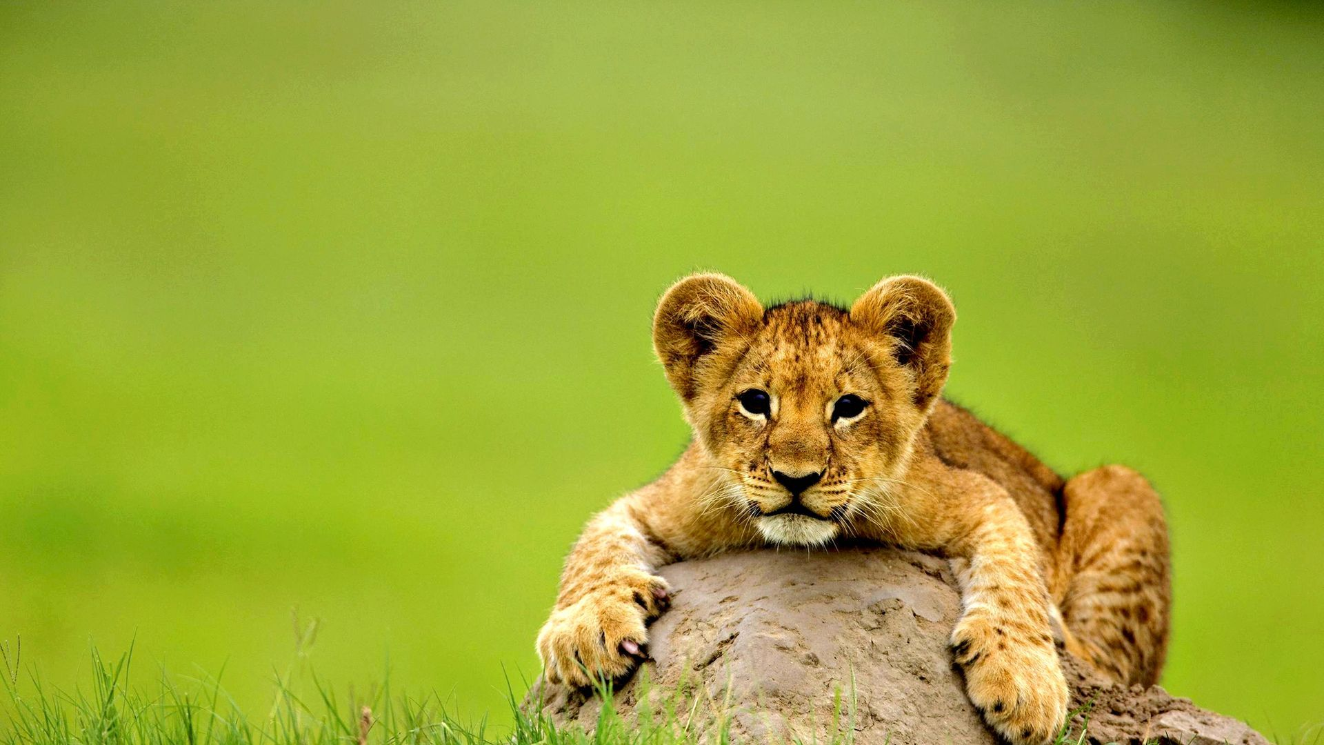 Cute Lion Baby Baby Animals Pictures Lion Pictures Animal Pictures